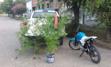Urdampilleta: En un allanamiento encontraron dos plantas de marihuana de un metro y medio