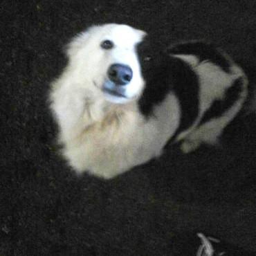Se busca a 'Catriel' perrito de Pablo Forestello que se extravio el miercoles por la tarde